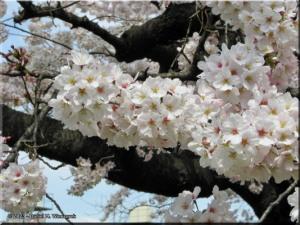 Mar29_Koishikawa_Cherry05RC.jpg