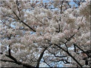 Mar29_Koishikawa_Cherry07RC.jpg
