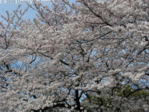 Mar29_Koishikawa_Cherry18RC.jpg