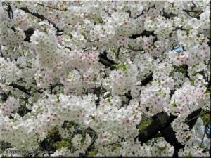 Mar29_Koishikawa_Cherry20RC.jpg