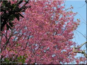 Mar29_Koishikawa_Cherry31_PinkRC.jpg
