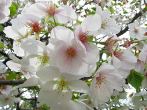 Mar29_Koishikawa_Prunus_speciosa02RC.jpg