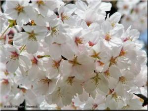 Mar29_Koishikawa_Prunus_yedoensis02RC.jpg