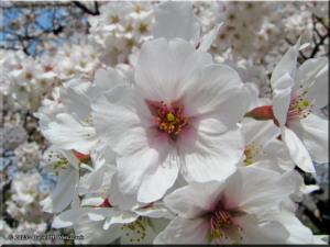 Mar29_Koishikawa_Prunus_yedoensis08RC.jpg