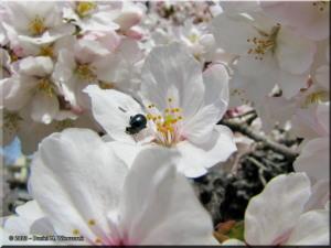 Mar29_Koishikawa_Prunus_yedoensis10RC.jpg