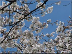 Mar29_Koishikawa_Prunus_yedoensis12RC.jpg