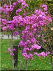 Mar29_Koishikawa_PurpleAzalea02RC.jpg