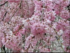 Mar30_ICU_PinkCherry12RC.jpg