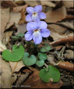 Mar13_MtKagenobu12_Viola_grypocerasRC.jpg