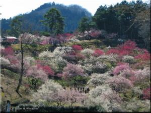Mar15_Hinatawada_YoshinoBaigo008RC.jpg