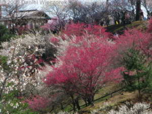 Mar15_Hinatawada_YoshinoBaigo037RC.jpg
