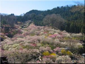 Mar15th_Yoshino_Baigo004RC.jpg