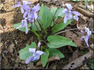 Mar28_NogawaPk28_Viola_japonicaRC.jpg