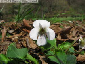 Mar28_NogawaPk32_Viola_keiskeiRC.jpg