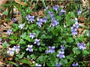 Mar28_NogawaPk48_Viola_grypocerasRC.jpg