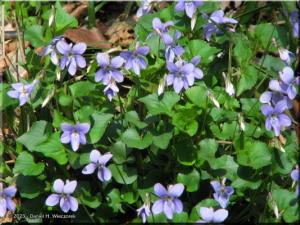 Mar28_NogawaPk51_Viola_grypocerasRC.jpg
