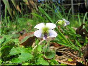 Mar29_KoishikawaBG_35_Viola_diffusaRC.jpg