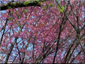 Mar29_KoishikawaBG_90_CherryBlossomsRC.jpg