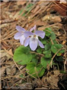 March13_HikageKagenobu_067_Viola_grypocerasRC.jpg