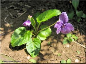 March29th_KoishikawaBG020_Viola_yedoensisRC.jpg