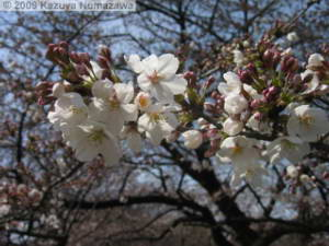 March29th_KoishikawaBG052_CherryBlossomsRC.jpg