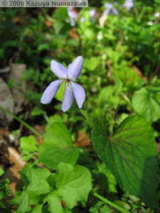 March29th_KoishikawaBG094_Viola_grypoceras_f_variegataRC.jpg