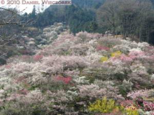 Mar20_YoshinoBaigo_Hinatawada_PlumBlossom002RC