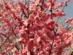Mar20_YoshinoBaigo_Hinatawada_PlumBlossom021RC