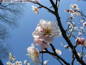 Mar20_YoshinoBaigo_Hinatawada_PlumBlossom032RC