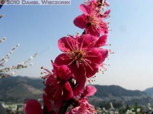 Mar20_YoshinoBaigo_Hinatawada_PlumBlossom110RC