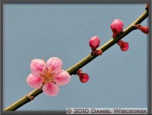 Mar20_YoshinoBaigo_Hinatawada_PlumBlossom116cSIP_FrRC