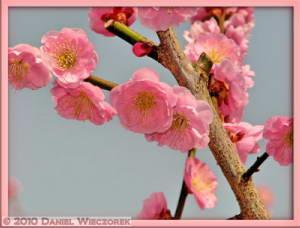 Mar20_YoshinoBaigo_Hinatawada_PlumBlossom127_SIP_FrRC