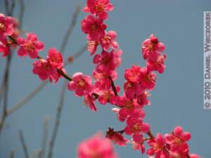 Mar20_YoshinoBaigo_Hinatawada_PlumBlossom138RC