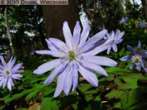 Mar21_JindaiBotGarden02TM_Blue_AnemoneRC