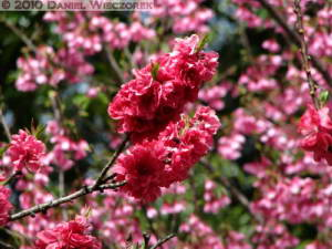 Mar21_JindaiBotGarden36_PeachRC