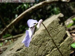 Mar22_Ogesawa_29_Viola_grypocerasRC