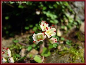 Mar06_39_Hikage_Chrysosplenium_album_var_stamineum_RC