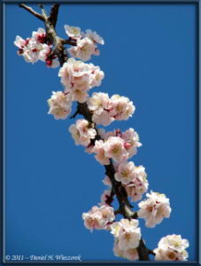 Mar13_20_ICU_PlumBlossom_RC