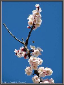 Mar13_21_ICU_PlumBlossom_RC