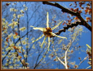 Mar13_46_NogawaPk_Hamamelis_RC