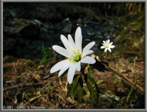 Mar19_081_HikageCreek_Anemone_sp_RC