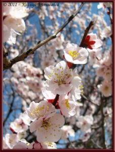 March13th_ICU_018_PlumBlossom_RC