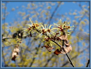 March13th_NogawaPark_030_Hamamelis_RC
