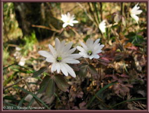March19th_Hikage_075_Anemone_sp_RC