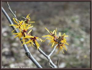Mar03_JindaiBG_Hamamelis_25RC