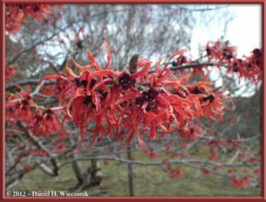 Mar03_JindaiBG_Hamamelis_28RC