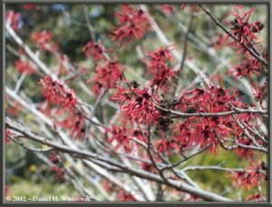 Mar03_JindaiBG_Hamamelis_31RC