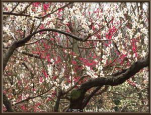 Mar30_008_KyodonomoriPark_PlumBlossomsRC