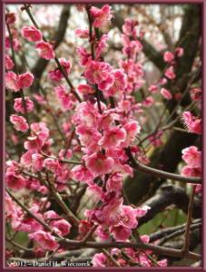 Mar30_012_KyodonomoriPark_PlumBlossomsRC