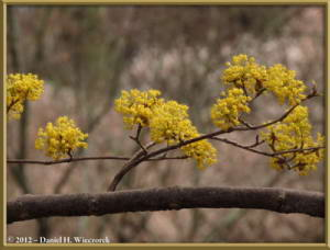 Mar30_026_KyodonomoriPark_Cornus_officinalisRC